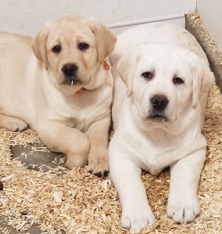 Beloved Labs, LLC - English Labrador puppies (Labs) for sale
