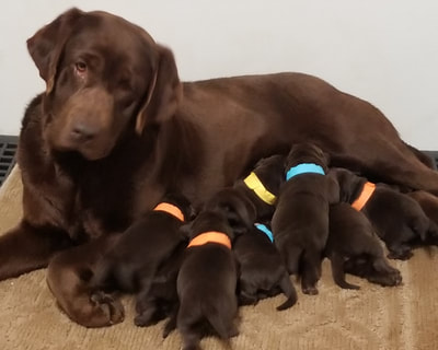 Beloved Labs, LLC - English Labrador puppies (Labs) for sale in